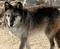 Wolves from Wolf Mountain Sanctuary, Lucerne Valley, CA